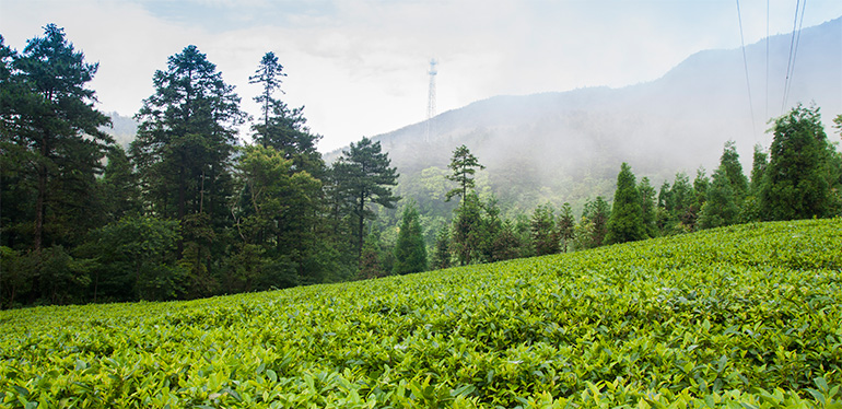 九狮寨位于东经113°,北纬28°的高山区 国家4A级风景名胜区的高山茶园,只选取海拔1000米以上的无污染纯天然的茶叶为原料  福寿山中雾,九狮寨上茶 较高的海拔,昼夜温差大,丰沛的降雨量和良好的自然环境赋予茶叶原生态,纯天然的特性   九狮寨高山茶业拥有500吨名优红茶自动化(不绣钢)生产线一条,两套先进选别机和恒温冷藏保险仓储库 连续八年评为岳阳市优秀茶叶基地,是目前岳阳市规模较大的名优茶出口加工企业和有机茶基地     时间:确定订货单后,48小时内将货发出 数量:确保百分百配